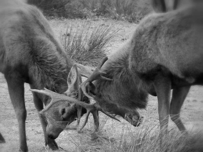 Deer fighting on field
