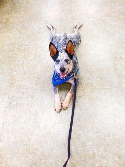 Dog Training Dog Trainer Dog
