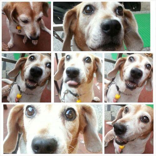 口愛的milin Mymilinbaby Beagle