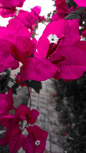 Pink Color Flower Leaf Nature Tree Branch Growth Beauty In Nature Petal Fragility Begonvilçiçekleri Day No People Outdoors Plant Bougainvillea Flower Head Freshness