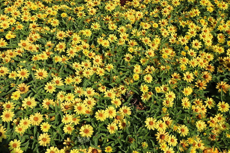 bed of yellow flowers Flowering Plant Flower Beauty In Nature Plant Yellow Freshness Vulnerability  Fragility Growth Field Full Frame Land No People Nature Abundance Backgrounds High Angle View Day Petal Flower Head Outdoors Flowerbed