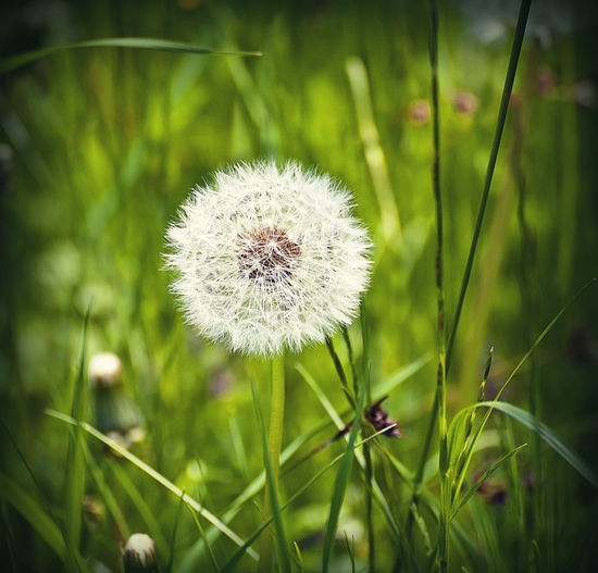 ripe dandelion fruit in green field Beauty In Nature Close-up Dandelion Day Delicate Field Flower Flower Head Fragility Freshness Grass Growth Meadow Nature No People Outdoors Plant Softness Taraxacum Officinale Uncultivated Wildflower