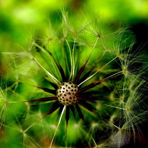 Dandelion Weeds Weeds Are Beautiful Too Spiral Pattern Fibonacci Numbers Fibonacci Spiral Dandelion Fibonacci God's Beauty Enjoying Nature Nature Photography Macro Photography