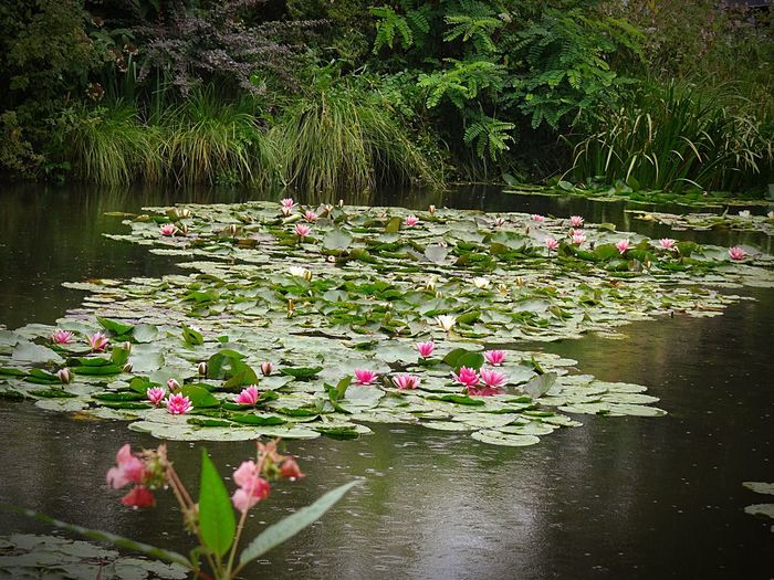 Garden Photography Flowers Water Lilies. Lilly Pads. Water Lillies Water Lily, Flower Water Lilies Water Lily