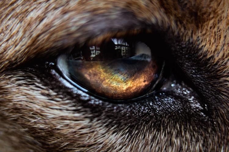 Amber Amber Eyes Animal Eye Animal Themes Close Up Close-up Color Colour Dark Day Dog Domestic Animals Eyeball Eyesight Fiery Eyes Iris Macro Macro Photography Mammal Nature No People One Animal Outdoors Pupil