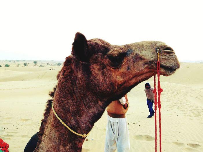 A Camel on a