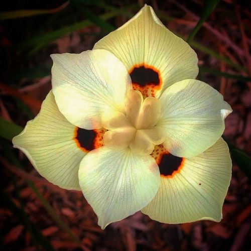 African Butterfly Iris at Herman Park Flower Petal Beauty In Nature Nature Flower Head Close-up Plant Outdoors No People African Iris
