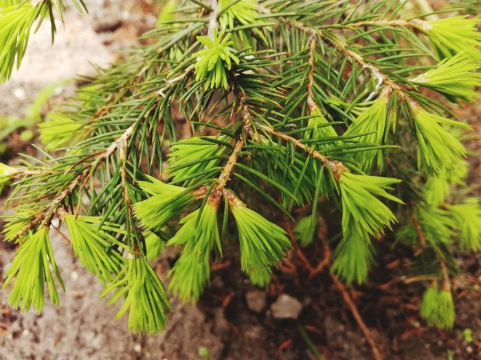 Green Color No People Nature Close-up Growth Focus On Foreground Plant Outdoors Pinaceae Day Freshness