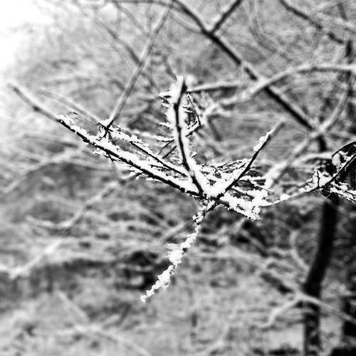 First snow #Nature  #branches #Winter #firstsnow #zima #pierwszysnieg #biało #gałęzie Leaf Close-up Plant