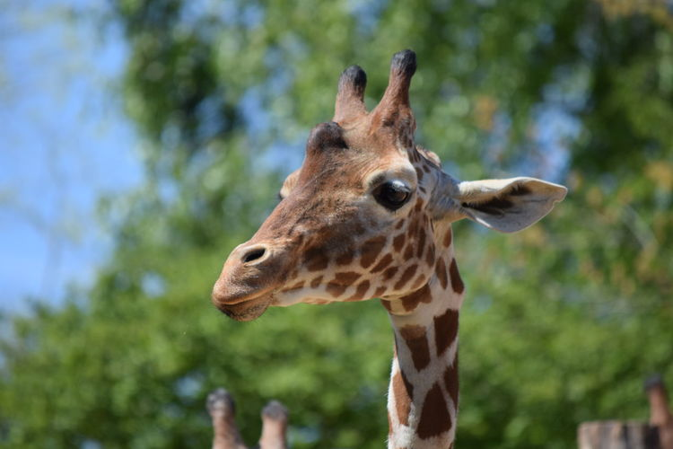 giraffe Animal Themes Animal Wildlife Animals In The Wild Close-up Day Focus On Foreground Giraffe Mammal Nature No People One Animal Outdoors Safari Animals Tree