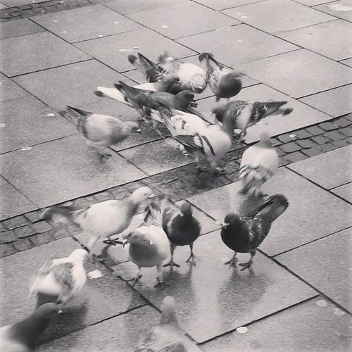 Kampf der Tauben - Lappan Oldenburg Öl