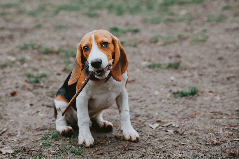 dooooog Animal Themes Beagle Beaglelovers Beagles  Close-up Day Dog Domestic Animals Focus On Foreground Full Length Looking At Camera Mammal Nature No People One Animal Outdoors Pets Portrait Sitting