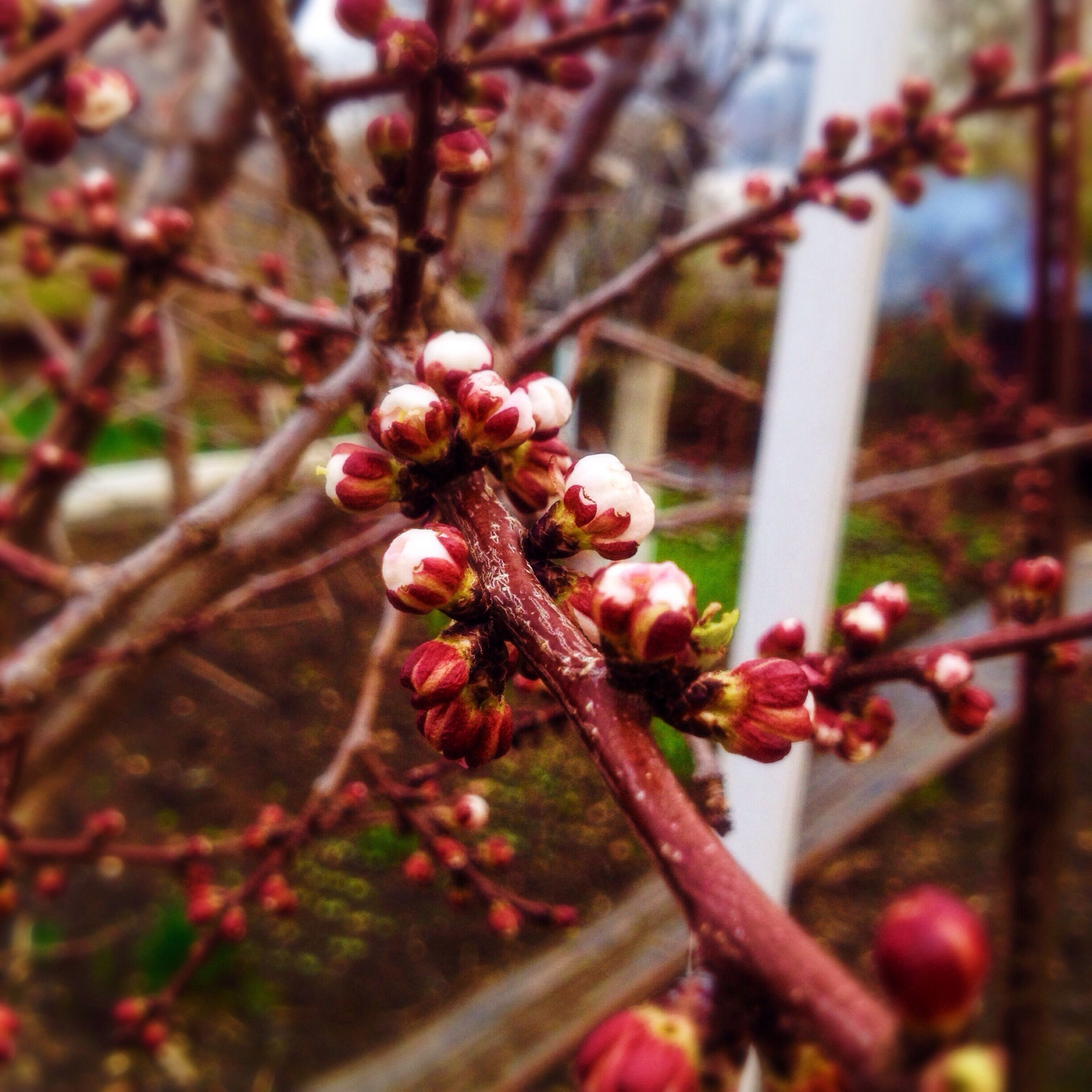 branch, focus on foreground, flower, growth, close-up, tree, freshness, twig, pink color, nature, fragility, beauty in nature, selective focus, bud, cherry tree, red, day, outdoors, blossom, stem