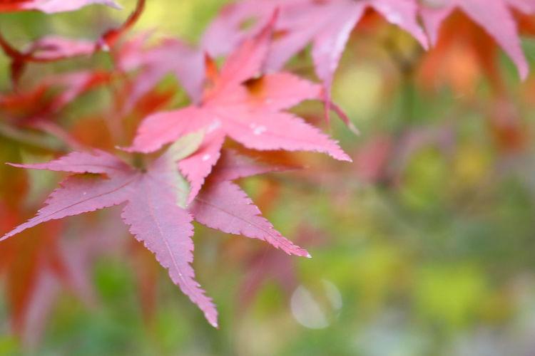 紅葉 もみじ 日本 Japan Close-up AutumnNature Red Leaf Nature Growth Plant Beauty In Nature Outdoors Fragility No People Day お散歩 お写ん歩