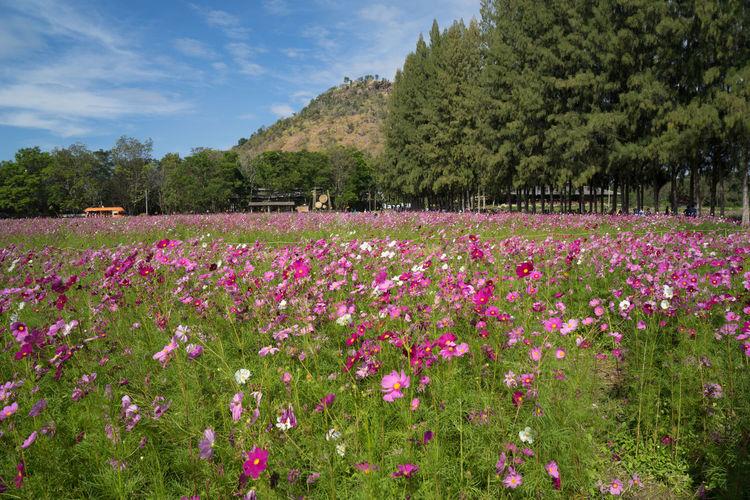 Pink Cosmos Flowers Blooming On Field
