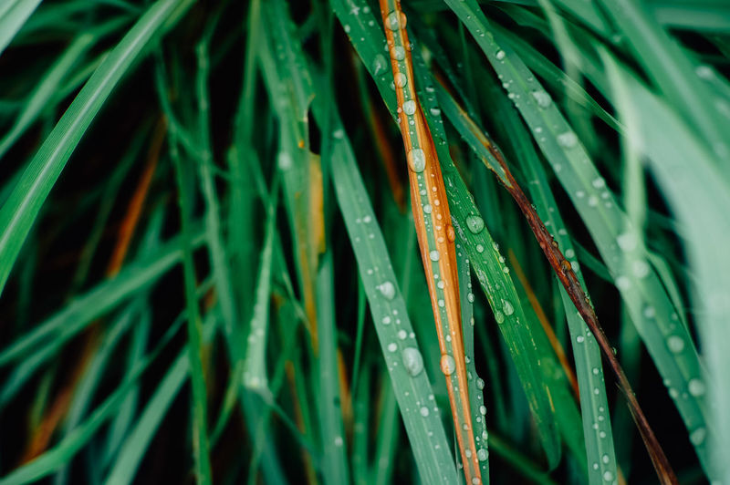 Green Color Growth Plant Blade Of Grass Drop Beauty In Nature Close-up Nature Leaf Wet Grass Water Plant Part No People Day Selective Focus Freshness Tranquility Outdoors Dew Rain RainDrop Rainy Season Palm Leaf