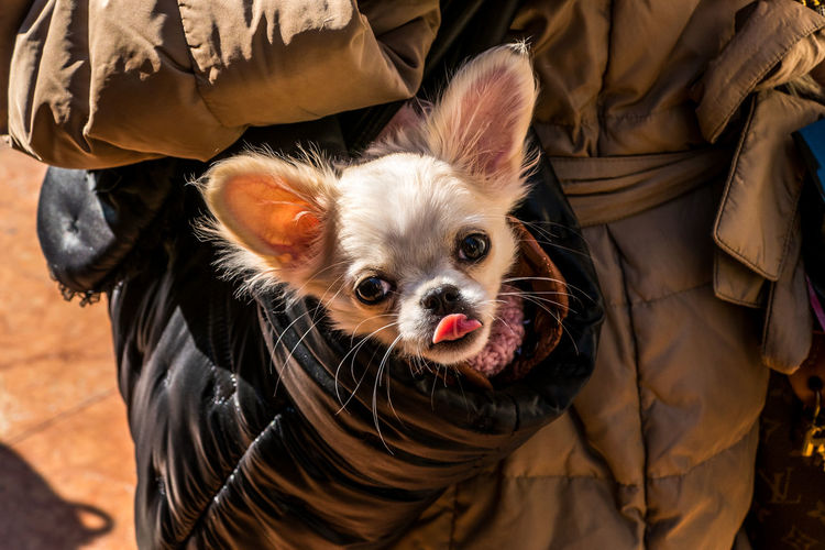 Midsection of person carrying chihuahua in bag