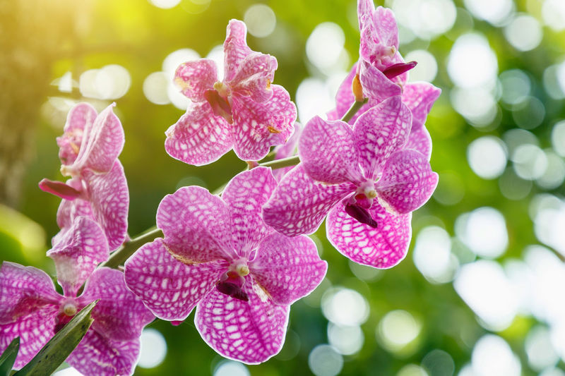 Orchid flower in orchid garden at winter or spring day for beauty and agriculture concept design. Vanda Orchidaceae Orchid Orchidaceae White Background Flower Purple Design Closeup Beautiful Plant Phalaenopsis Blossom Bloom Nature Spring Garden Yellow Macro Bright Beauty Violet Flora Pink Tropical Cymbidium Green Color Pattern Decoration Winter Light Fresh Branch Object Decorative Floral Frame Petal Elegant Wedding Vibrant Event Spa Exotic Botany Bouquet Botanical Delicate Flowering Plant Vulnerability  Beauty In Nature Fragility Growth Freshness Close-up Inflorescence Flower Head Pink Color Focus On Foreground No People Day Outdoors Selective Focus Springtime Pollen Lilac Dew