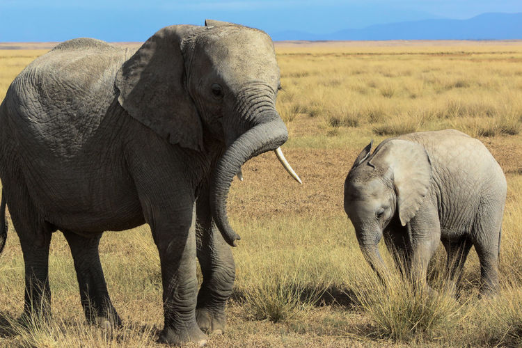 Elephant and calf on grassy field