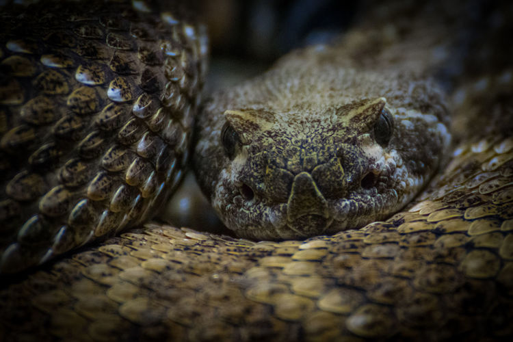 EyeEm Best Shots EyeEm Nature Lover Macro Photography Nikon D3300 Schlange  The Week on EyeEm Animal Animal Body Part Animal Eye Animal Head  Animal Themes Animal Wildlife Animals In The Wild Close-up Klapperschlange Macro One Animal Poisonous Reptile Snake Zoo