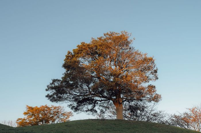 A Tree Evening Light On The Hill Hilltop Single Tree Autumn Leaf Autumn Leaves Orange Color Tree Low Angle View Clear Sky No Clouds In The Sky Beauty In Nature No People Branch City Park Yuzu Yokohama Yokohama, Japan October October 2017
