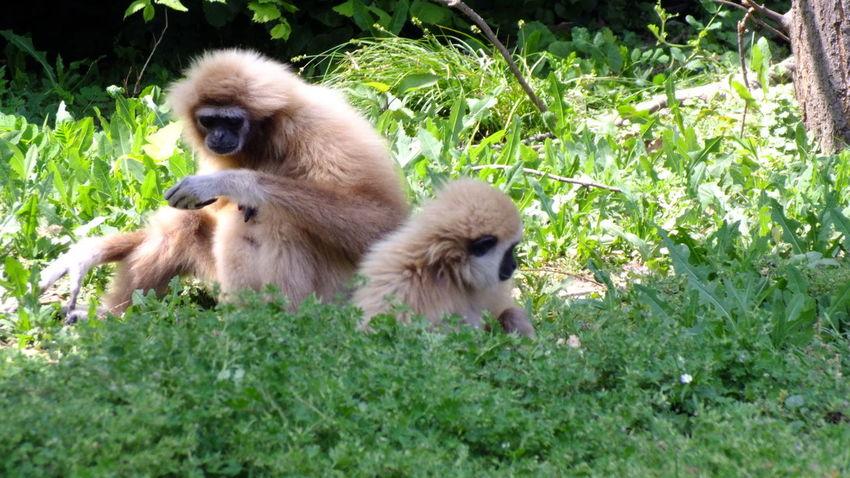 Animal Themes Cute Gibbon Hungary Mammal Monkey Nature Nature Nature Photography Nature_collection Naturelovers Nyiregyhazazoo Outdoors Photography Plant Relaxation Wildlife Wildlife & Nature Wildlife Photography Young Animal