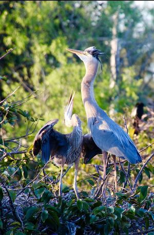 Animal Themes Animal Wildlife Two Herons In Tree Perching Nature Daytime Outdoors No People
