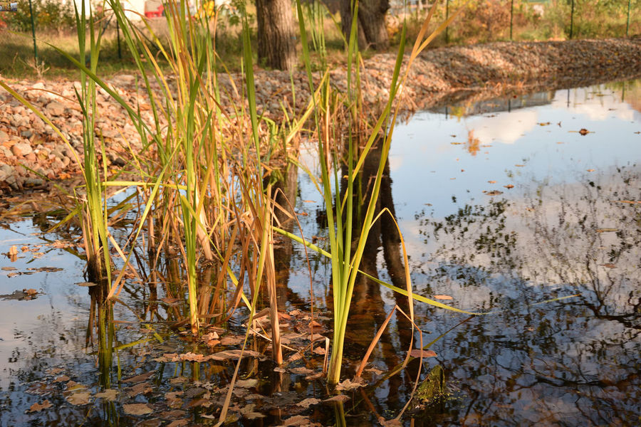 Reed in water in the autumn season - reflections EyeEmNewHere Water Lake Plant Nature Growth Tranquility No People Day Beauty In Nature Reflection Grass Lakeshore Land Outdoors Non-urban Scene Tranquil Scene Reeds In Water Leaves 🍁 Leaves In Water Reflections In The Water Sky In Water Phragmites Autumn