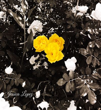Flower Petal Fragility Yellow Growth Nature Plant Freshness Outdoors No People Flower Head Beauty In Nature Close-up Day Blooming Blackandwhite