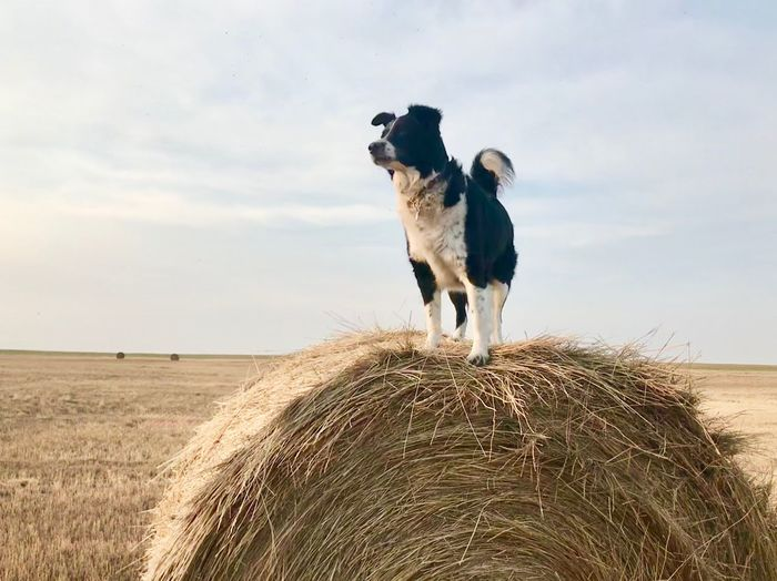 Border Collie on Hay Bale Border Collie EyeEm Selects Pets Domestic Animals Animal Mammal Animal Themes Domestic Land Canine Sky One Animal Dog Field Nature Landscape