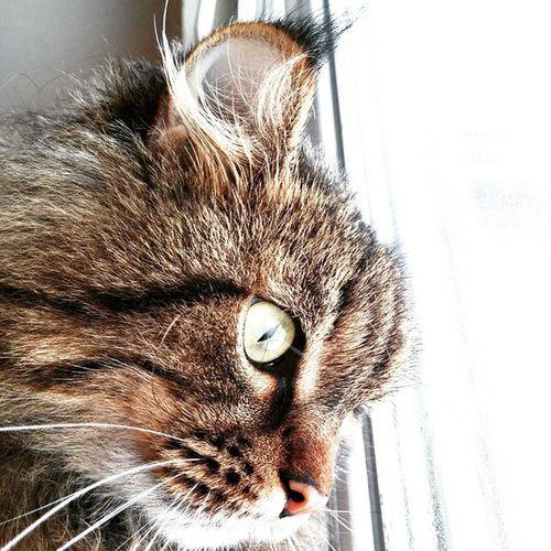 Serious cat is watching you😽 Cat Catstagram Cats Catsofinstagram Dieselcat Diesel Seriousecats Seriouscat Mackerel Bigbrotheriswatching Bigbrotheriswatchingyou Bestshot Allyouneediscat Allcatslikeporn котынашевсе кисточкинаушах макрель кисточки