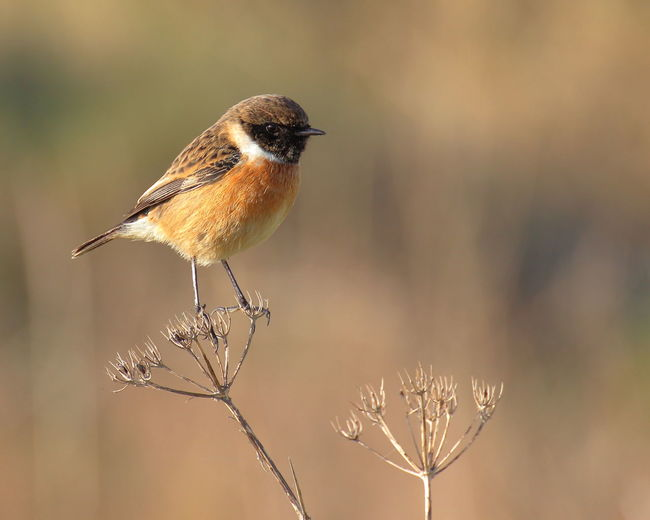 Incredible light, absolutely cute and really angry about me - a stonechat (Saxicola rubicola) living at the poolbeg peninsula. Dublin Dublin Bay Bird Birds Of EyeEm  Bird Photography Nature Photography Natureinthecity Birds Saxicola Rubicola Stonechat Poolbeg Chimneys Focus On Foreground Portrait One Animal Looking At Camera No People Animals In The Wild Winter Outdoors Beauty In Nature Nature