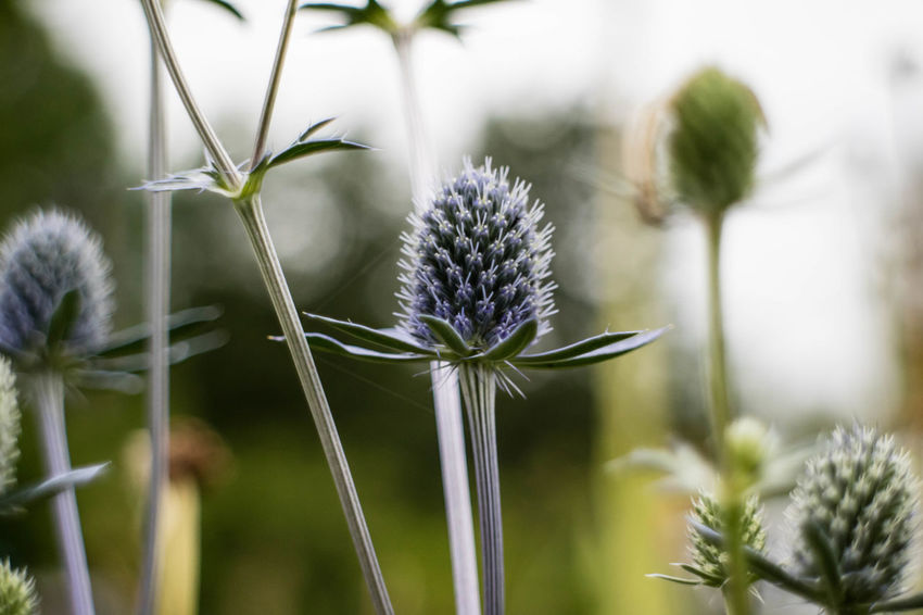 Beauty In Nature Blooming Close-up Day Flower Flower Head Focus On Foreground Fragility Freshness Growth Nature No People Outdoors Plant Thistle