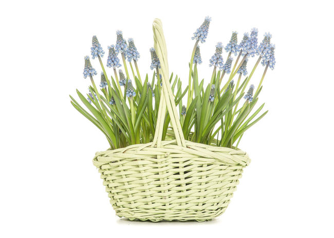 Blooming blue grape hyacinths in a green wicker basket as a gift of for decoration on a white background Blooming Blue Blue Grape Hyacinths Flowers Grape Hyacinths Plants And Flowers Spring White Background Wicker Basket
