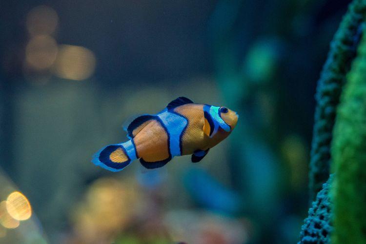 Close-up of clown fish swimming in aquarium