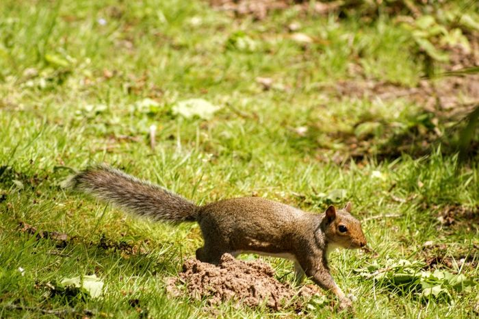 Animal Animal Themes Animal Wildlife Animals In The Wild Day Full Length Grass Green Color Land Mammal Nature No People One Animal Outdoors Plant Profile View Rodent Side View Squirrel Tail Vertebrate