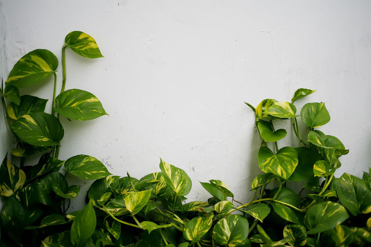 Close-up of fresh green leaves against white wall