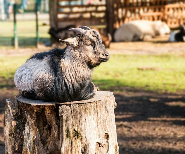 Goat Resting On Tree Stump