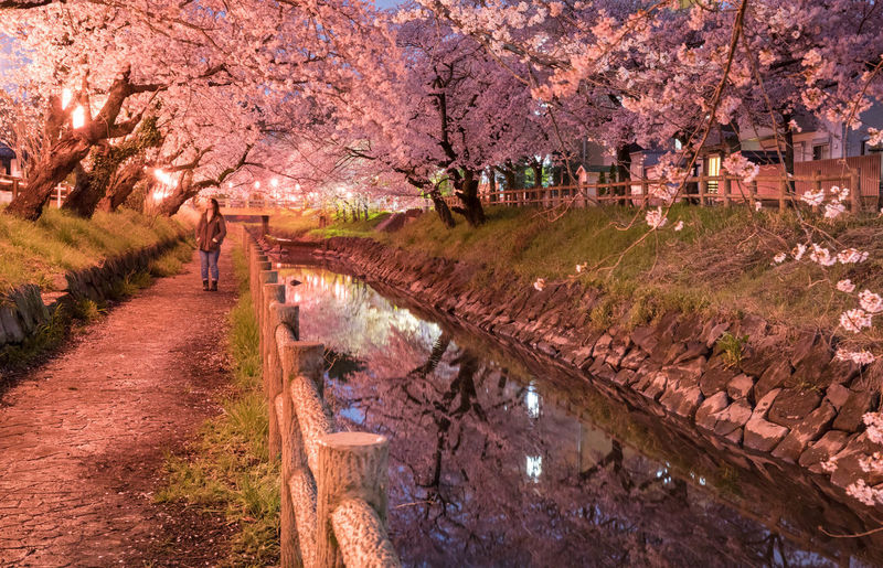 Woman standing by canal amidst cherry trees at dusk