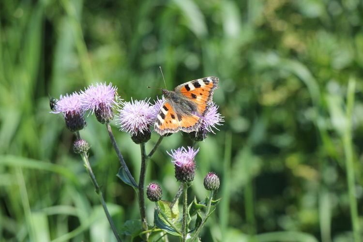 Rural Scene Butterfly Fly Insects  Flower Head Flower Perching Thistle Pollination Butterfly - Insect Insect Petal Uncultivated Close-up Flowering Plant Wildflower In Bloom