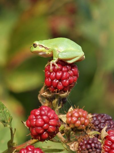 Threefrog Frog