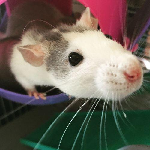 Rat Loverat