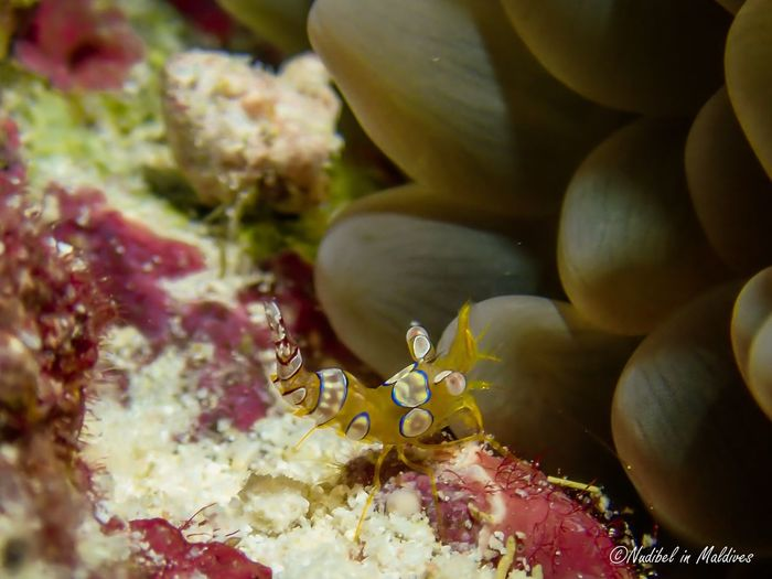 Squat shrimp Bubble Coral Wild Animal underwater photography Nature Photography Wildlife Marine Life Marine Sea Life Water Sea Underwater Islandlife Underwater World Scuba Diving Diving Shrimps Coral Close-up Freshness Nature Beauty In Nature