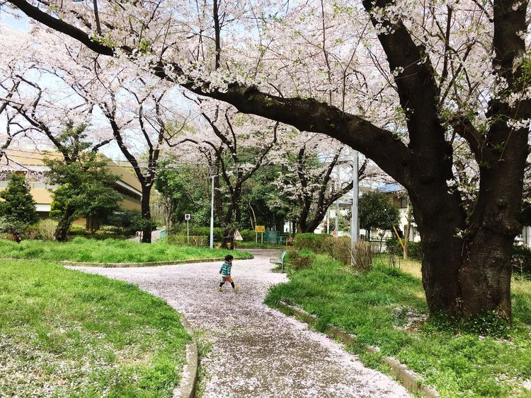 Walking Cherry Blossoms Tree Branch