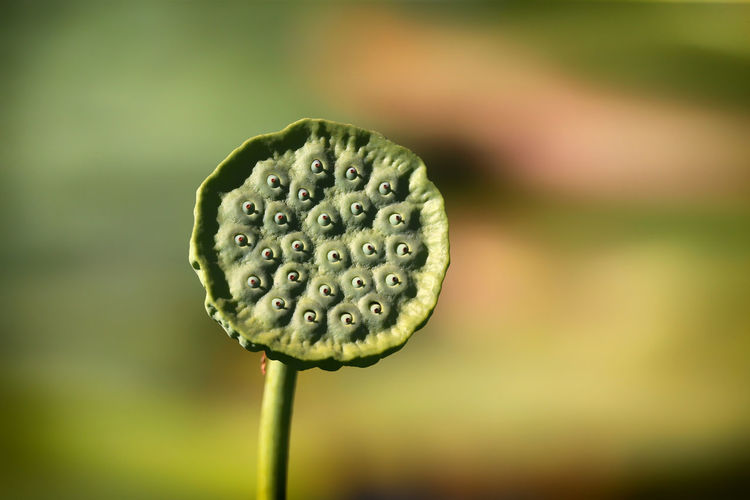 Lotos Flower Beauty In Nature Close-up Day Flower Flower Head Growth Lotos LOTOS FLOWER Nature Nelumbo_sp No People Outdoors Plant Plant Pod