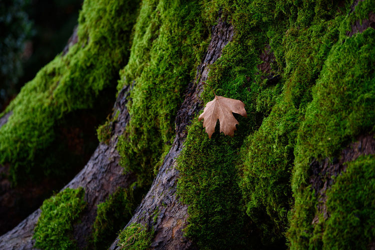 A dry fallen tree leaf  on a mossy tree in tuscany, italy.