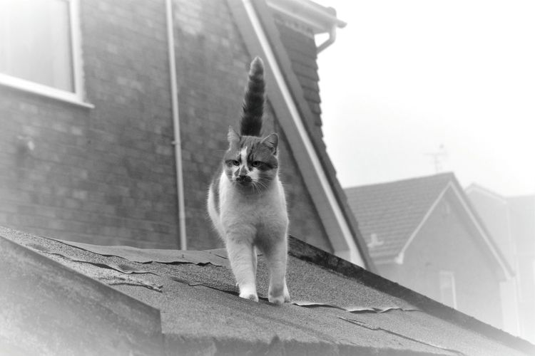 Mario Out On The Prowl. Cats Just Have An Easy Life. Black And White Photography EyeEm Best Shots EyeEm Cat Lover Pet Portraits