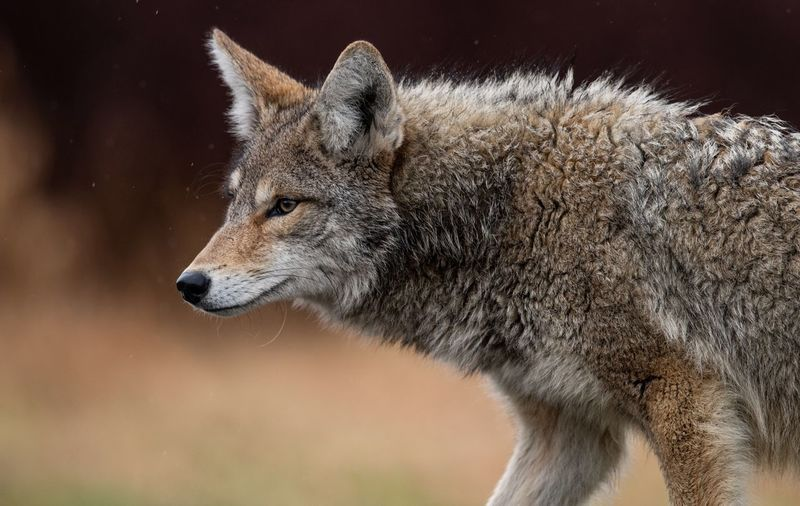 Side view of wolf looking away while standing outdoors