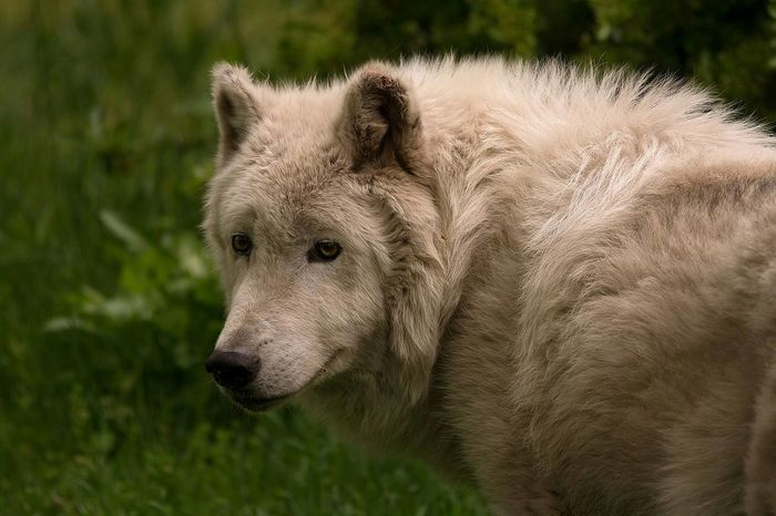 Loup Artique Artic Wolf Animal Animaux Gironde Zoo Photos Around You France