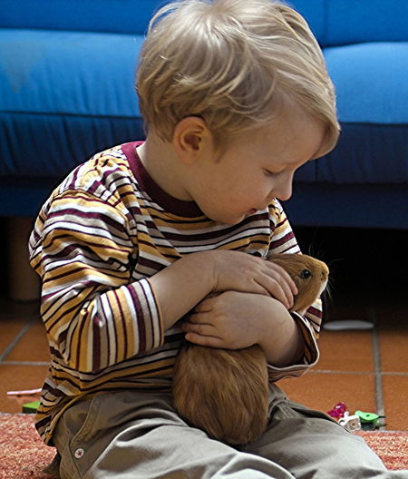 Young boy hugs his favorite pet... Baby Babyhood Blond Hair Boys Cavy Child Childhood Day Domestic Life Guinea Pig Indoors  Males  One Person People Pet Sitting